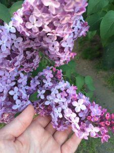 ライラック花